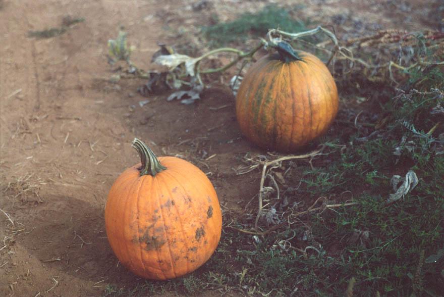 Pumpkins2001
